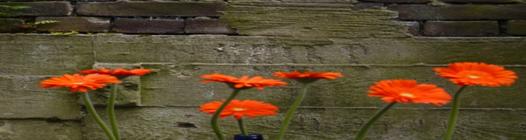 In de barsten van de muren groeien de mooiste bloemen
